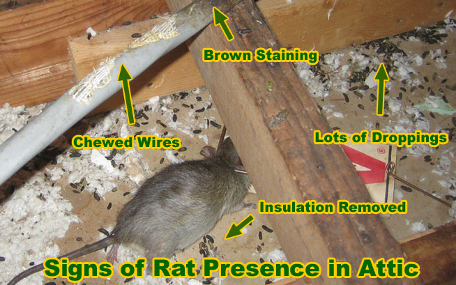 Winter Is The Peak Season For Rodent Activity